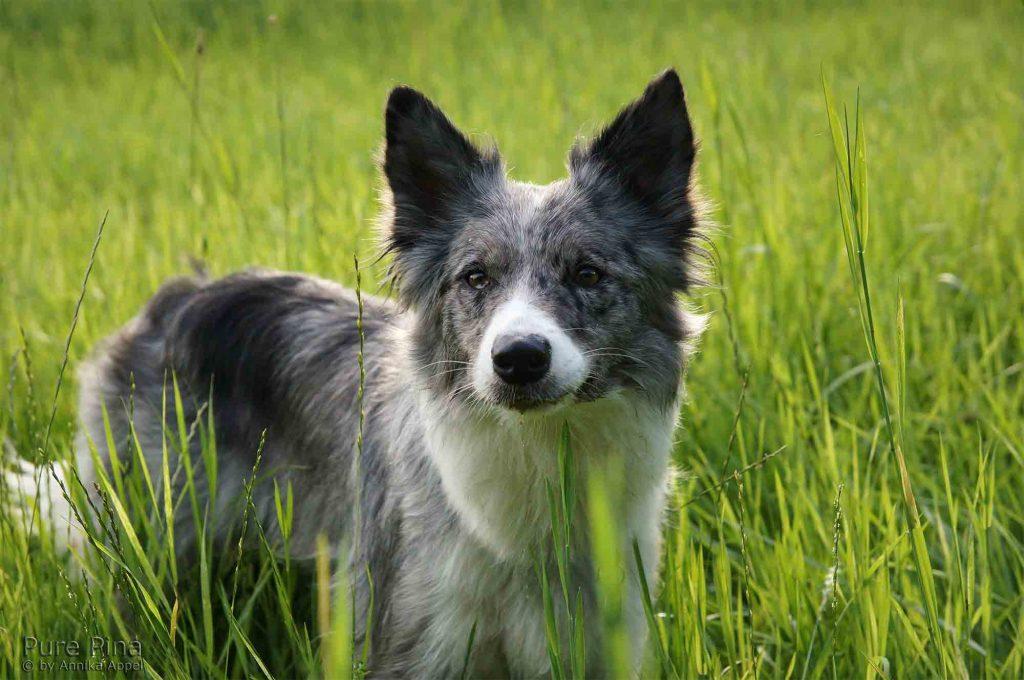 Futterblatt-Weidetier-Hund